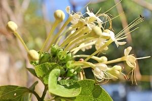 Australian Plants - Lamiaceae
