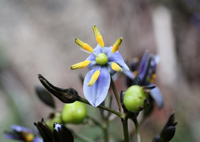 australian alpine plants