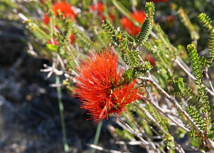 western australian plants